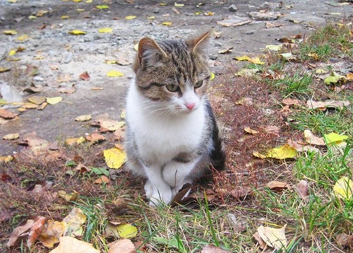 ангорский котик