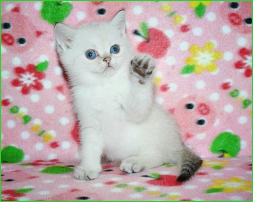 Питомник самара чеширский кот