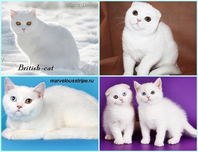британских и шотландских котов